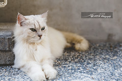 26-0310-1 (Jerry Chen(   )) Tags: travel cat canon photography taiwan free taipei   pure