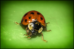 Ladybird 2 (R.J.Boyd) Tags: life red black macro green closeup lady bug garden insect close legs small insects spot bugs spots tiny ladybird creatrure