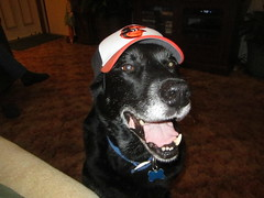 Tazz loves the Orioles! =) (Spike's Honey) Tags: black md husky labrador maryland baltimore orioles tazz