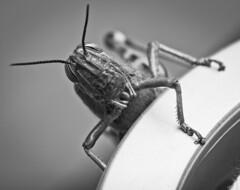 Portrait of a Grasshopper (Ricardo Sanz Cortiella) Tags: grasshopper saltamontes