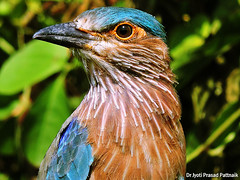 Indian_roller_01 (Jyotiprasads) Tags: birds commonbirds birdsofodisha odishabirds