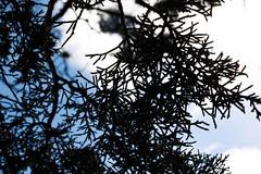 _MG_8403-2 (sir_mac_alot66) Tags: blue sky beautiful leaves silhouette clouds leaf cool fotografie fotografia fotografa   fotograph fotoraflk
