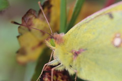Clouded yellow face (Cefn Ila (Thanks for one million views)) Tags: eye face yellow butterfly coliascroceus