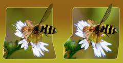 Crab Spider with Hoverfly Meal on Heath Aster Wildflower 2 - Parallel 3D (DarkOnus) Tags: macro closeup lumix spider stereogram 3d pennsylvania arachnid crab meal heath wildflower parallel stereography buckscounty hoverfly aster arachtober dmcfz35