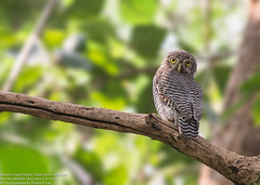 Barred Jungle Owlet | Glaucidium radiatum (bikashdas) Tags: india owl ind glaucidiumradiatum cauverywildlifesanctuary barredjungleowlet