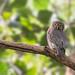 Barred Jungle Owlet | Glaucidium radiatum