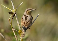 Wryneck - Jynx torquilla (Gary Faulkner's wildlife photography) Tags: wryneck susssexbirds
