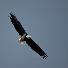 Bald Eagle 24 (LongInt57) Tags: blue sky brown white canada black nature birds yellow flying wings bc okanagan wildlife bald soaring eagles raptors
