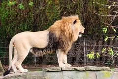 Löwe 27 (grasso.gino) Tags: animals cat tiere big lion katze mighty impressive gros löwe mächtig beeindruckend