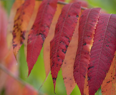 Autumn sumac (DannyBurkPhotography) Tags: sumac red color autumn fall leaves indiana