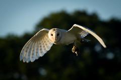 Side Light (jammo s) Tags: barnowl owl tytoalba wildlife birdofprey bird birdinflight wildbarnowl wildowl bokeh nature canonef400mmf56lusm canoneos80d