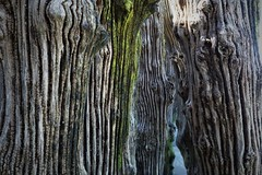 A glimpse through the tree trunks... (Charos Pix) Tags: stmalo seadefence breakwater bark tree