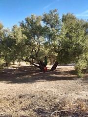 Aceituneros altivos!! (maricg1) Tags: oro olivo jaen paraiso