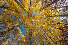 Minnesota Fall Aspens (Zack Mensinger) Tags: lakecarlosstatepark minnesota 2016 canon5dmarkii canon1740f4l aspens fall fallcolors fallcolor fallbreak spectacular yellow exploremn onlyinmn stateparks explore