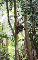 IMG_0401 (trevor.patt) Tags: palauubin singapore macaque monkey