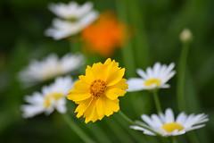 DSC_0471 (Kelson Souza) Tags: flor primavera flower flowers natureza beleza jardim jardinagem garden gardens colorido floricultura petalas ptalas florescer flores margarida margaridas
