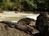 DSC05725 (Dole Posleman) Tags: iguana garrobo playa naturaleza piedra