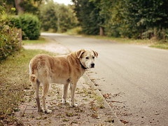 2016-09-26_17-15-57 (torstenbehrens) Tags: hund tarbek schleswigholstein deutschland panasonic dmcg1 tier dog wauwau