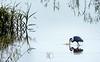 Strike! (Wes Iversen) Tags: greategrets hss michigan saginaw shiawasseenationalwildliferefuge sliderssunday tamron150600mm birds egrets grasses water waterbirds wildlife