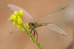 X-shaped  (Explore 05.10.2016) (jrosvic) Tags: dragonfly sympetrumfonscolombii libelula anisoptera odonata entomology freehand cartagena murcia spain nikond7100 nikon60mm28dmicro