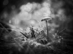 Champignon (steph20_2) Tags: panasonic gh3 m43 lumix 45mm macro closeup proxy champignon mushroom monochrome monochrom noir noiretblanc ngc blanc black bw white skanchelli