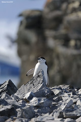 Chinstrap Penguin (naturalturn) Tags: chinstrap penguin cliff mountain mountains snow halfmoon island halfmoonisland southshetlandislands antarctica image:rating=5 image:id=193868