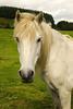 White Horse. (Keith (foggybummer)) Tags: glenesk hardy horse inerested white