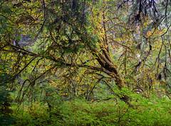 Autumn among Redwoods (Waldemar*) Tags: usa westcoast california prairiecreek statepark redwoods northerncalifornia autumn fall season leaf leafs colors nature landscape preservation park tree trees nikon d800e afs1635mmf4gvr