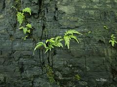 Edinburgh: Royal Botanical Gardens (Jon Fitton) Tags: rock royalbotanicgardens fern edinburgh lightroom olympus scotland unitedkingdom gb