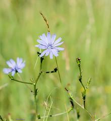 Fleurs des champs (Kaya.paca) Tags: fleurs pastel couleurs fragile champs nature mantagne france hautesalpes exterieur t soleil matin flowers colors summer sun morning simplicit