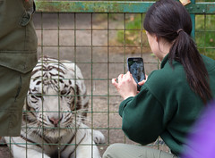 I'm ready for my close-up (robertcampbellphotography) Tags: paradisewildlifepark feline cat zoo uk predator bigcat whitetiger