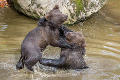 Beren02-6985 (Esther van Rooijen) Tags: bayerischerwald animals wildlife