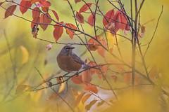 _K4A5027cracd sm (eslingermj) Tags: eslingermj mjeslinger mjesli canon mark270d nature naturephotographers outdoors outdoorphotography colorado coloradostateparks coloradofrontrange color colorful birds bird birdphotography birdsanctuary o robins american