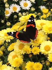 Memories of Summer (JulieK (finally moved to Wexford)) Tags: hww redadmiral butterfly wingwednesday iphone5 chrysanthemum flower pollination gardencentre fauna beautiful nature wildlife animal insect invertebrate wexford ireland irish