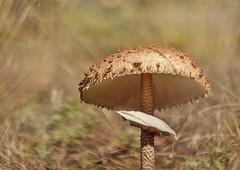 Macrolepiota procera-Nagy zlbgomba (lizfoto27) Tags: fungi fungus macrolepiotaprocera nagyzlbgomba nature naturelovers mushroom zlbgomba gomba autumn naturephotography canon lzfot