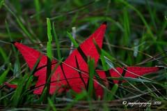 THE FALLEN ... explore #36, 10/17/16 ... (DSC_0615) (jmaphotography) Tags: macromondays edge autumnleaf autumn leaf