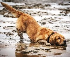 Schlickschieber (TS_1000) Tags: daswirdschonwieder urlaub hund igitt schmutz dreck schlick watt ebbe nordsee nordseekste strand dse duhnen cuxhaven wilma