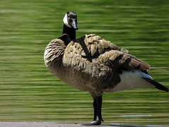 Strike a pose for the camera (maytag97) Tags: maytag97 bird goose outdoor feathers pose waterfowl