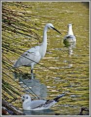 Little Egret (ro-co) Tags: tz35 panasonic birds egrets water wildlife