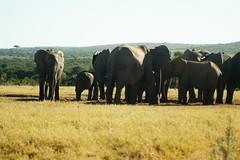 DSC03918 (Emily Hanley Photography) Tags: elephant elephants addo elephantpark nationalpark sa southafrica africa photography colour warthogs buffalo zebra waterhole rawimages raw nature naturalphotography animals animal