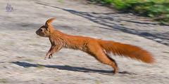 _DSC8829 (gupta.steve) Tags: eichhrnchen nagetier sugetier tier tamron natur park