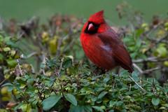 cardinal_8410 (JGKphotos) Tags: d7100 johnkunze bird birds cardinal cardinals