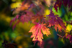 Autumn leaves (swansbill) Tags: autumn acer maple canonef50mmf14