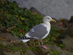 Social Distance (swong95765) Tags: bokeh seagul gull bird animal perched profile proximity tolerate
