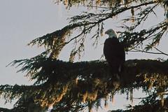 """""""Bear Watching"""" auf dem Lemmens Inlet - Weißkopfseeadler (astroaxel) Tags: kanada british columbia vancouver island bear watching lemmens inlet weiskopfseeadler seeadler adler"""
