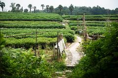 Fields of Green (Andy Brandl (PhotonMix.com)) Tags: china hangzhou zhejiang greentea pathway hill dof nikon photonmix palmtrees