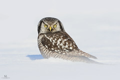 Chouette pervire -  Northern hawk owl - Surnia ulula (Maxime Legare-Vezina) Tags: owl bird oiseau nature wild wildlife animal fauna canon winter hiver neige snow