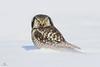 Chouette épervière -  Northern hawk owl - Surnia ulula (Maxime Legare-Vezina) Tags: owl bird oiseau nature wild wildlife animal fauna canon winter hiver neige snow