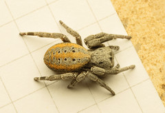 Velvet spider's journey 4 (Mika Andrianoelison) Tags: k3 madagascar macro closeup animal nature wildlife fauna bug justpentax taxonomy:family=eresidae velvet spider hairy weird