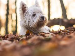 My little follower (Vintage lens lover - busy, busy) Tags: bokeh schärfentiefe outdoor natur wald laub hund herbst terrier westhighlandwhiteterrier westie